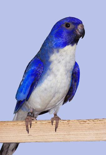 Copie de Violet cock.jpg